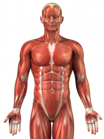 Muscle anatomy...