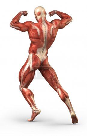 Male back anatomy muscular system in body-builder position