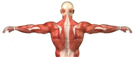 Male back muscular system anatomy in body-builder pose