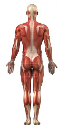 Photo for Anatomy of male muscular system posterior view full body - Royalty Free Image