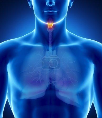 Male larynx anatomy