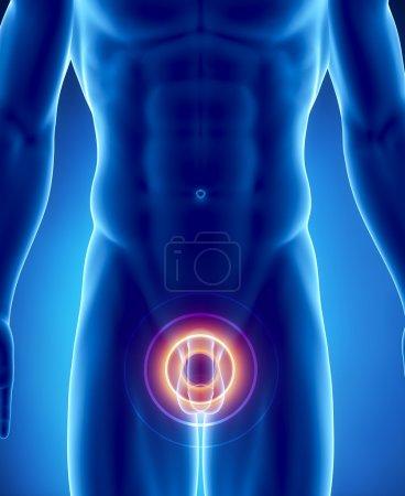 Photo pour Anatomie masculine d'organes humains en vue de rayons x - image libre de droit
