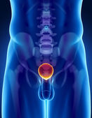 Lidského močového měchýře anatomie pánve a páteře