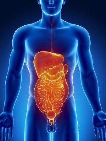 Photo pour Anatomie masculine des organes humains en vue radiographique orange-bleu - image libre de droit