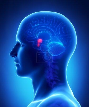 Brain anatomy PITUITARY GLAND - cross section