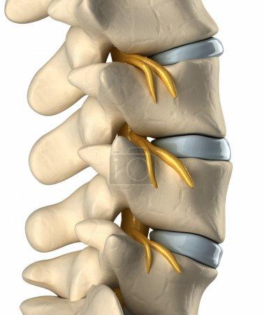 Photo pour Système nerveux rachidien - vue latérale - image libre de droit