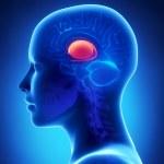 Basal ganglia - female brain anatomy lateral view...