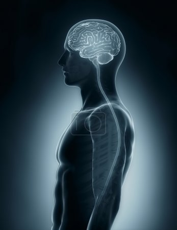Brain and spinal cord medical x-ray scan
