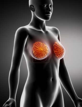 Female BREAST anatomy x-ray lateral view
