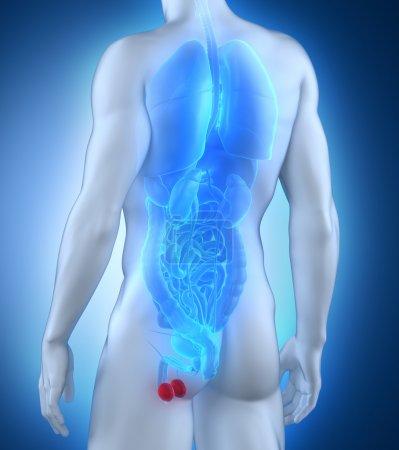 Male testes anatomy posterior view