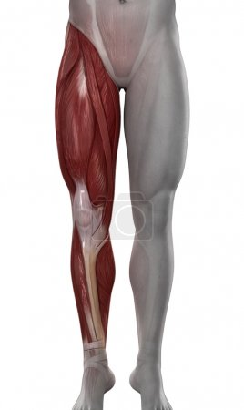 Male leg muscles anatomy isolated