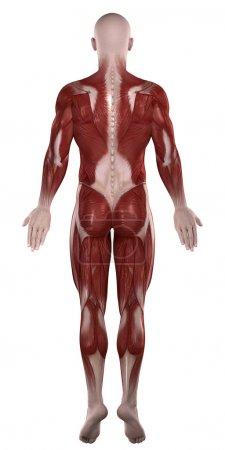 Man muscles anatomy