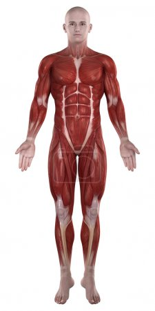 Man muscles anatomy