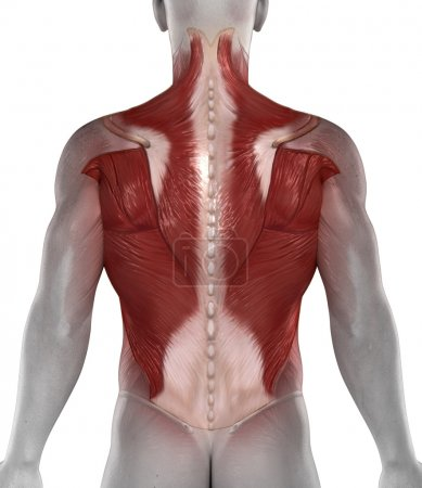 Abs back muscle