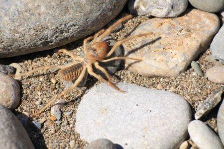 Camel spider or Solfugid