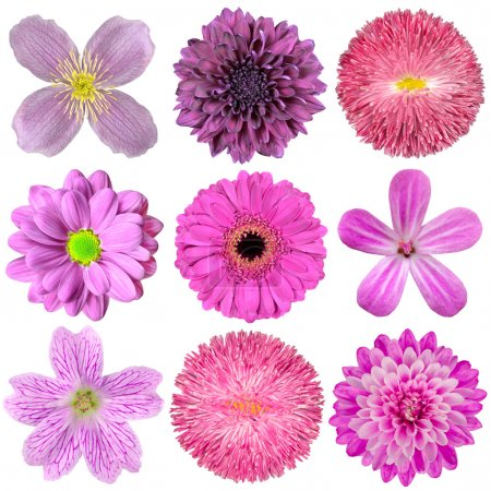 Photo for Collection of Various Pink, Purple, Red Flowers Isolated on White Background. Selection of Nine Periwinkle, Rose, CornFlower, Lily, Daisy, Chrysanthemum, Dahlia, Car - Royalty Free Image