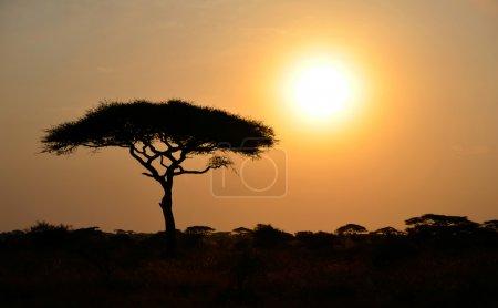 Rising Sun shinning with single Acacia tree in Africa