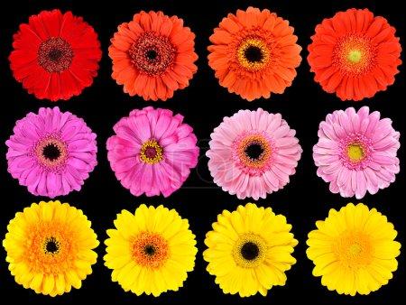 colección de flores frescas gerbera aislada en negro