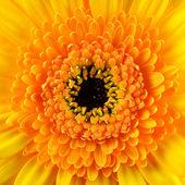 Čtvereček gerbera měsíček květ makro