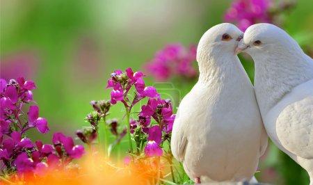 Photo pour Deux colombes blanches aimantes et de belles fleurs violettes - image libre de droit