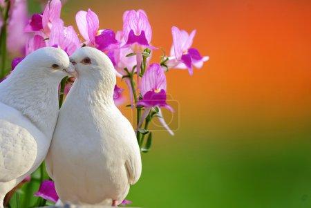 Photo pour Deux colombes blanches aimantes et fleur d'orchidée de papillon - image libre de droit