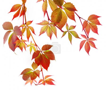 Photo for Autumn leaves on white background - Royalty Free Image