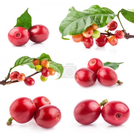 Photo for Collection of Red coffee beans on a branch of coffee tree, ripe and unripe berries isolated on white background - Royalty Free Image
