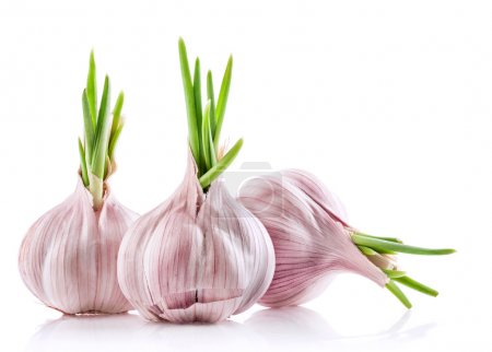 Three sprouted garlic bulbs