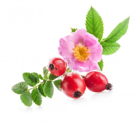Rose hips (Rosa canina) flowers and fruits