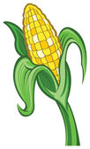 Ear of Corn illustration