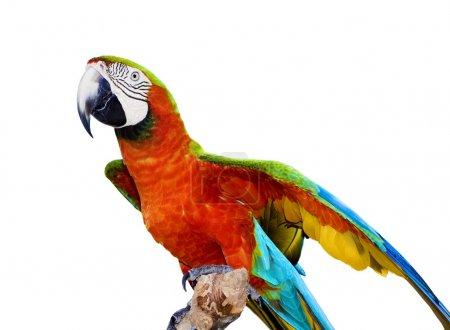 Photo pour Amazone écarlate isolée sur blanc - image libre de droit