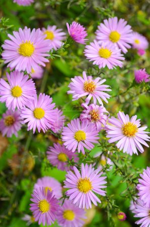 Flowers shrubby asters