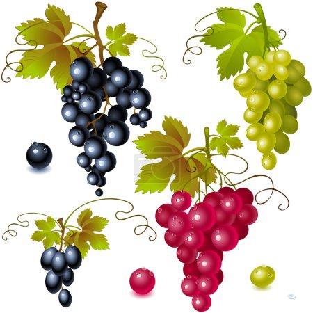 Illustration pour Différentes variétés de raisins avec des feuilles sur fond blanc - image libre de droit