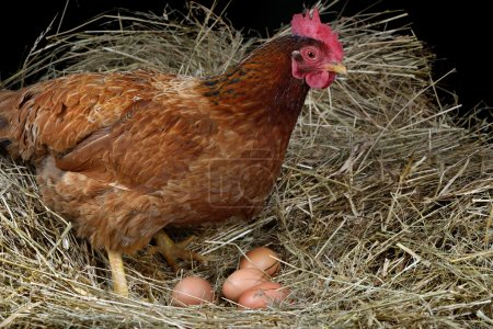 Photo for A hen laying eggs in its nest - Royalty Free Image