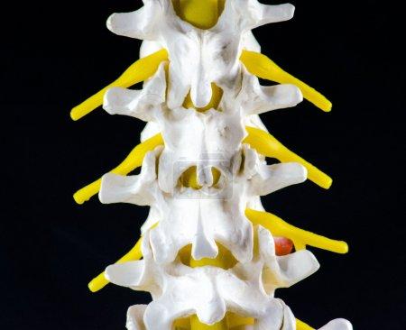 Spine vertebra model