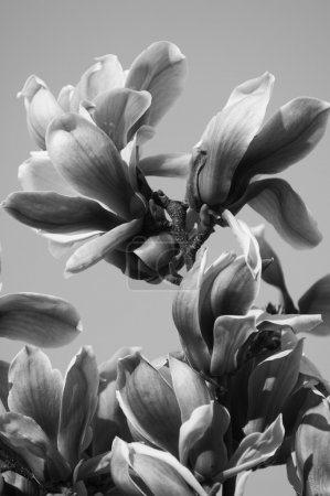 Photo for Beautiful magnolia flowers in black and white - Royalty Free Image