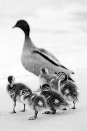 Photo pour Bébés canards au jeu sur la plage - image libre de droit