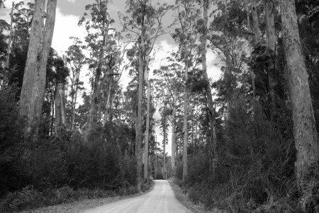 Photo pour Route de gravier serpente son chemin à travers la haute forêt - image libre de droit