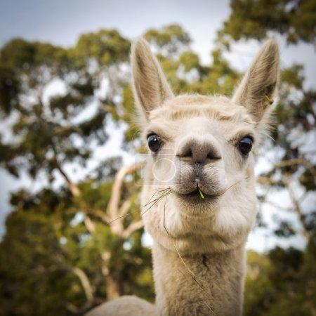 Foto de Alpaca en una granja australiana comiendo algo de hierba - Imagen libre de derechos