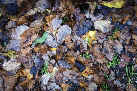 Photo for Autumn leaves on the wet ground for seasonal background - Royalty Free Image