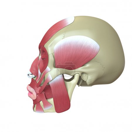 Photo for Rendered human skull with muscles - Royalty Free Image