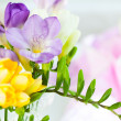Bunch of colorful freesia flowers...