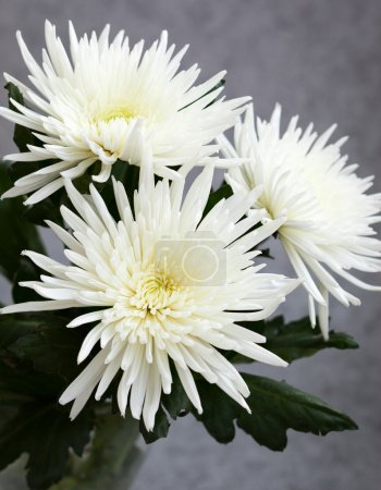 White chrysanthemums on the grey background...