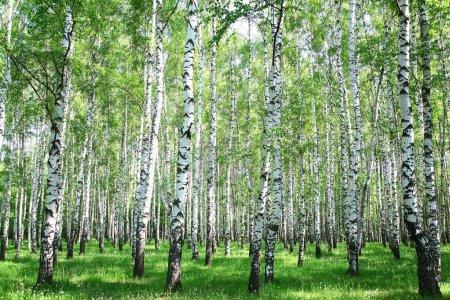 Photo pour Forêt de bouleaux printemps - image libre de droit