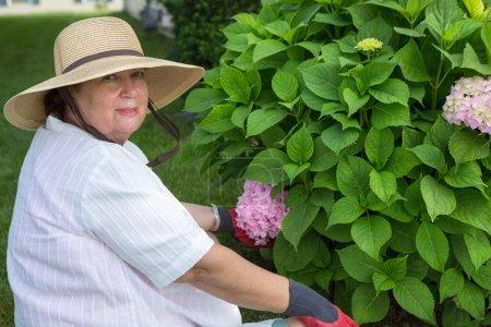 Elderly lady weeding around a hydrangea bush