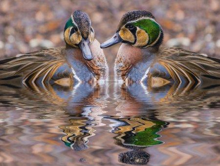 Two beautiful Baikal Teal Ducks