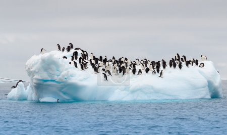 Adult adele penguins grouped on