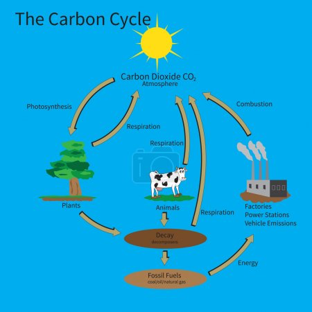 Illustration for The Carbon Cycle showing how carbon is recycled in the environment. - Royalty Free Image