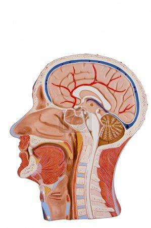 Cross Section Of Human Head