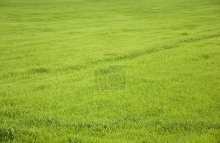 Wheat growing on a filed